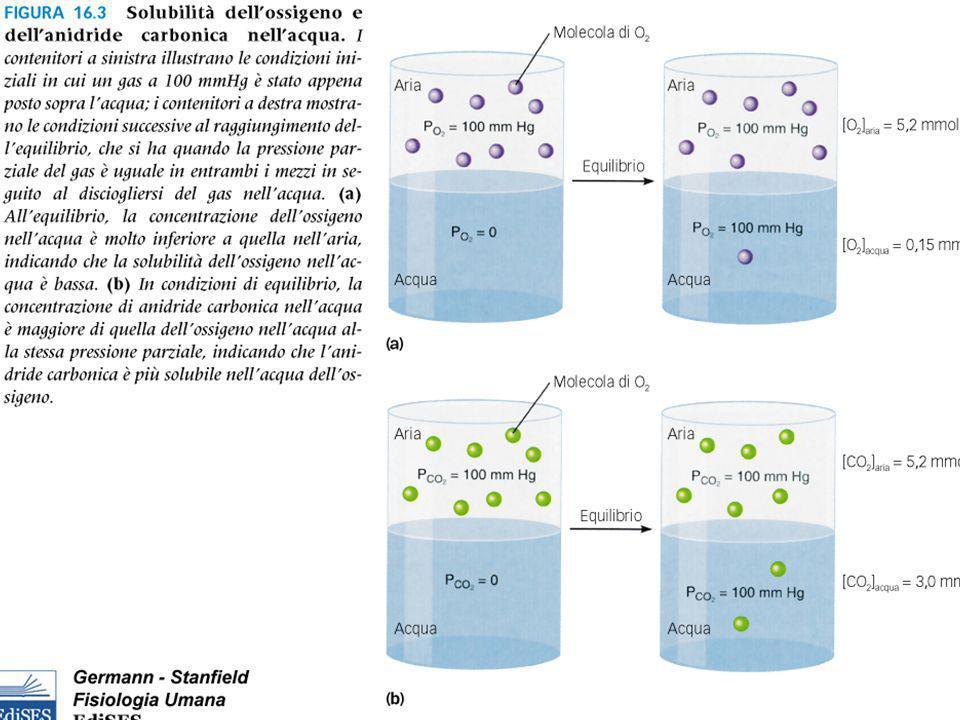 Funzioni dellHb Trasporto dellO2 ai tessuti.15 g.