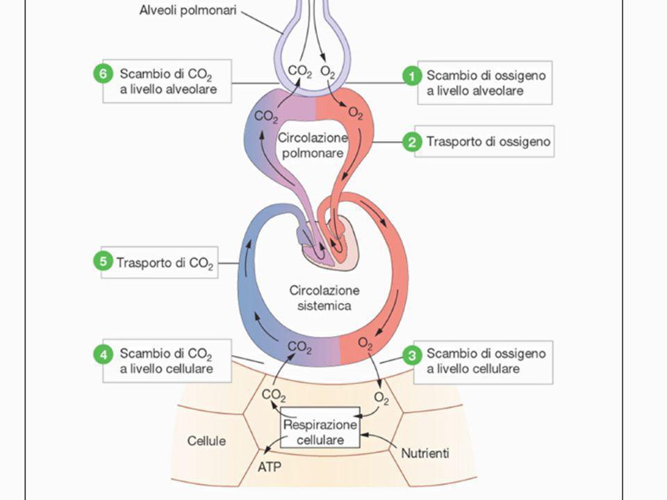 EMOGLOBINE PATOLOGICHE UMANE CARBOSSIEMOGLOBINA FORME INATTIVE DI Hb METEMOGLOBINA MODIFICAZIONI QUALITATIVE ANEMIA FALCIFORME MODIFICAZIONI QUANTITATIVE (SINDROMI TALASSEMICHE) α-TALASSEMIE ß-TALASSEMIE