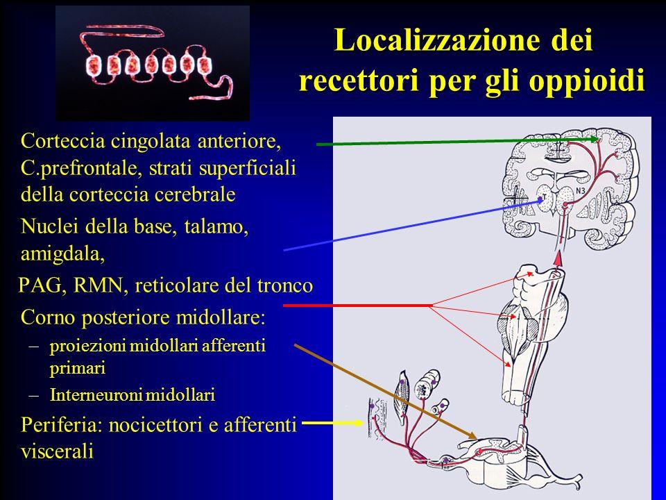 Localizzazione dei recettori per gli oppioidi Localizzazione dei recettori per gli oppioidi Corteccia cingolata anteriore, C.prefrontale, strati super