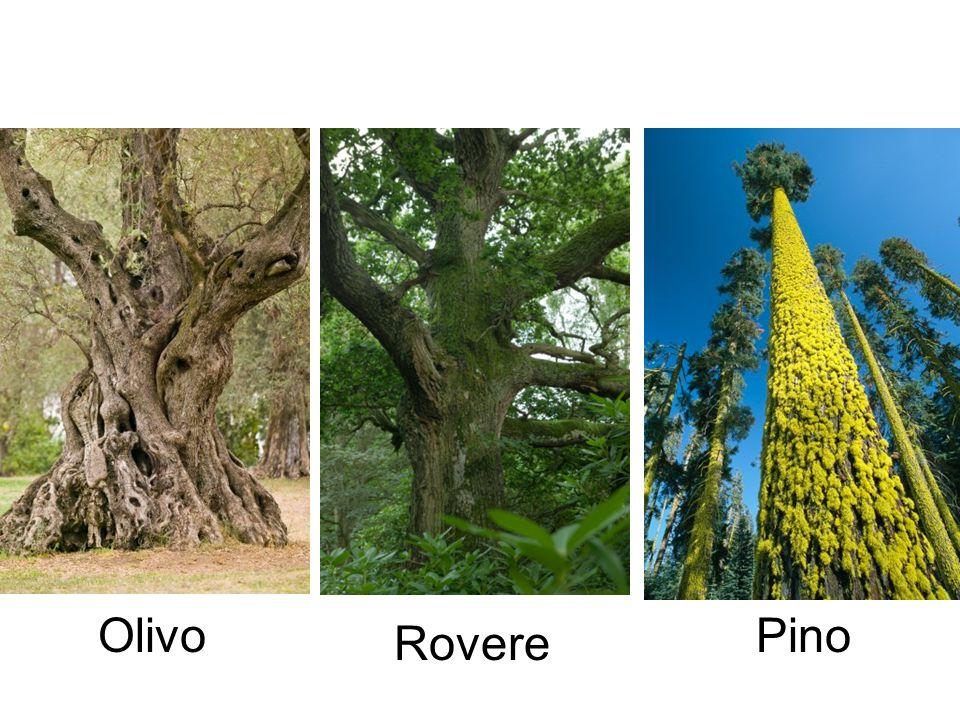 Olivo Rovere Pino