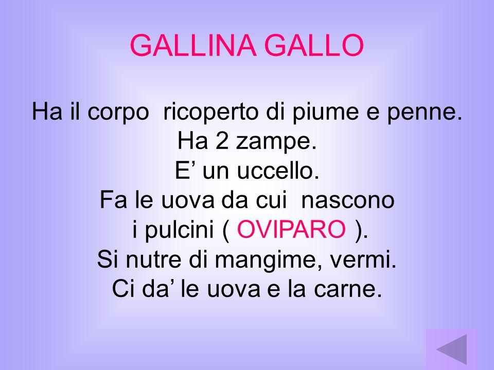 GALLINA GALLO Ha il corpo ricoperto di piume e penne. Ha 2 zampe. E un uccello. Fa le uova da cui nascono i pulcini ( OVIPARO ). Si nutre di mangime,