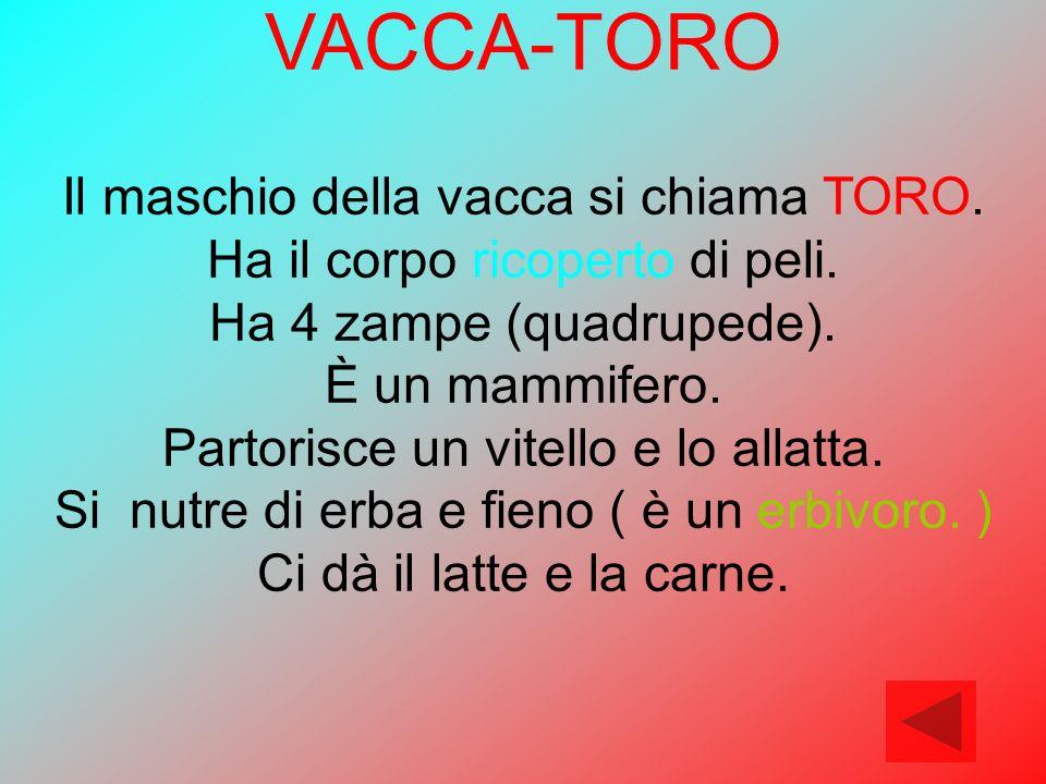 VACCA-TORO Il maschio della vacca si chiama TORO. Ha il corpo ricoperto di peli. Ha 4 zampe (quadrupede). È un mammifero. Partorisce un vitello e lo a