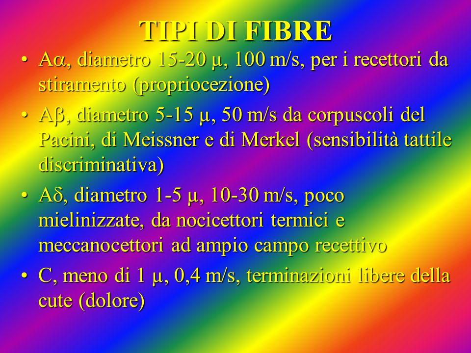 TIPI DI FIBRE A, diametro 15-20 µ, 100 m/s, per i recettori da stiramento (propriocezione)A, diametro 15-20 µ, 100 m/s, per i recettori da stiramento