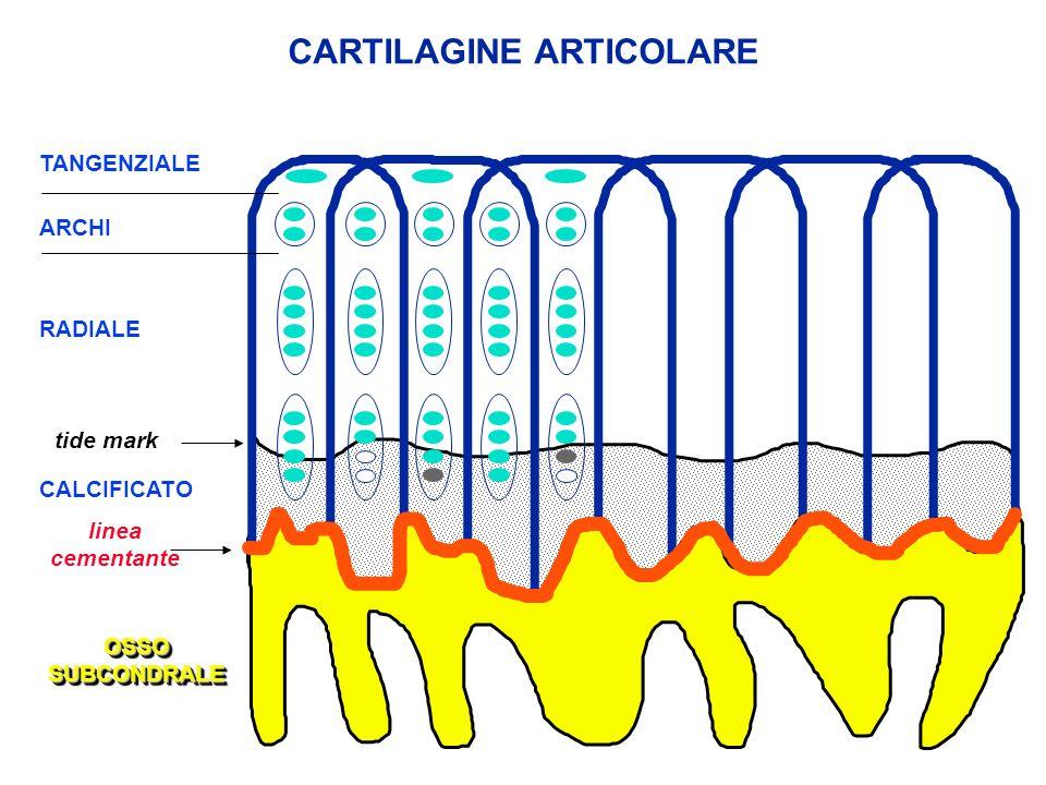 RADIALE linea cementante tide mark CALCIFICATO OSSOSUBCONDRALEOSSOSUBCONDRALE ARCHI TANGENZIALE CARTILAGINE ARTICOLARE
