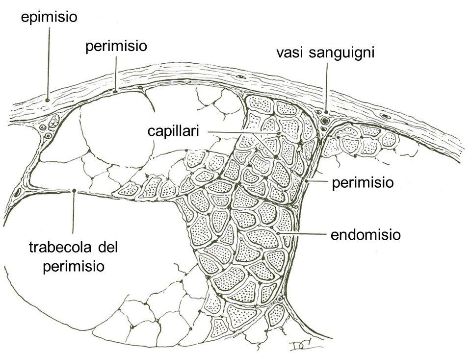 epimisio perimisio vasi sanguigni capillari perimisio endomisio trabecola del perimisio