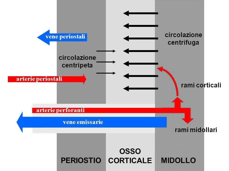 arterie perforanti arterie periostali vene emissarie vene periostali PERIOSTIO OSSO CORTICALE MIDOLLO rami midollari rami corticali circolazione centrifuga circolazione centripeta