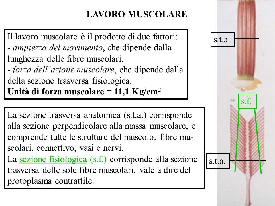 LAVORO MUSCOLARE Il lavoro muscolare è il prodotto di due fattori: - ampiezza del movimento, che dipende dalla lunghezza delle fibre muscolari.