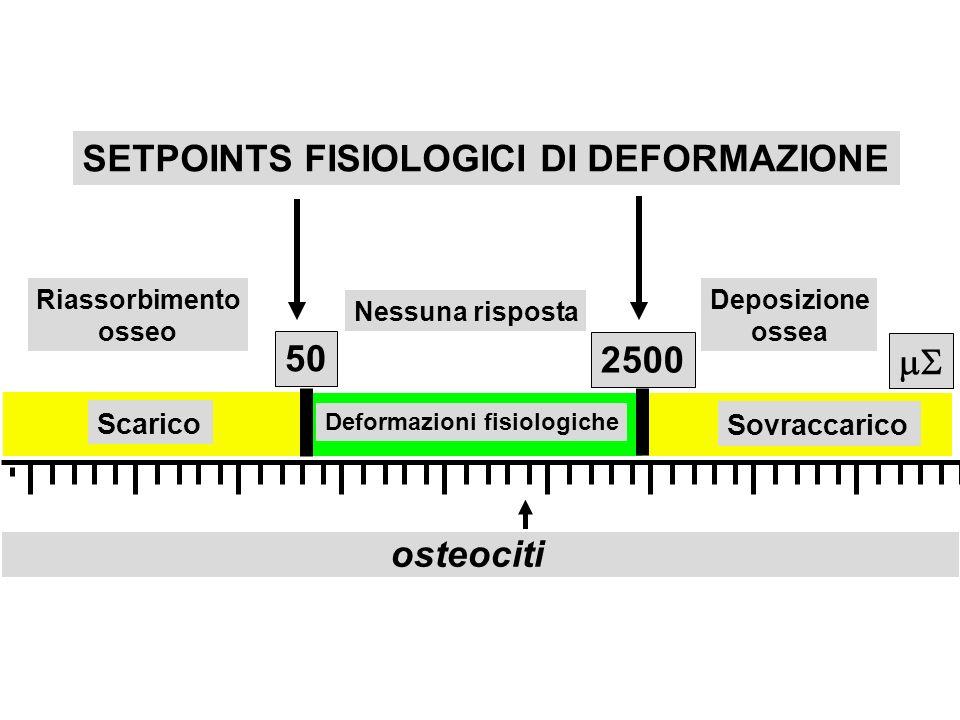 Scarico Sovraccarico Deformazioni fisiologiche 50 2500 osteociti SETPOINTS FISIOLOGICI DI DEFORMAZIONE Riassorbimento osseo Deposizione ossea Nessuna risposta