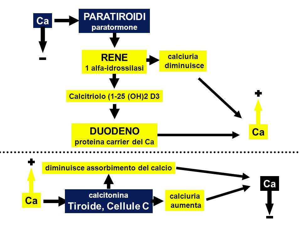 RENE 1 alfa-idrossilasi Calcitriolo (1-25 (OH)2 D3 PARATIROIDI paratormone DUODENO proteina carrier del Ca calciuria diminuisce Ca calcitonina Tiroide, Cellule C diminuisce assorbimento del calcio calciuria aumenta Ca