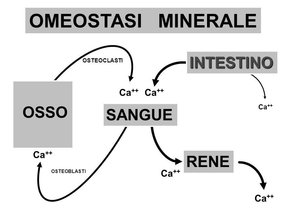 OMEOSTASI MINERALE SANGUE INTESTINO RENE OSTEOCLASTI OSTEOBLASTI Ca ++ OSSO