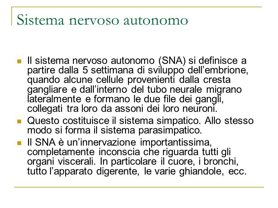 Sistema nervoso autonomo Il sistema nervoso autonomo (SNA) si definisce a partire dalla 5 settimana di sviluppo dellembrione, quando alcune cellule pr