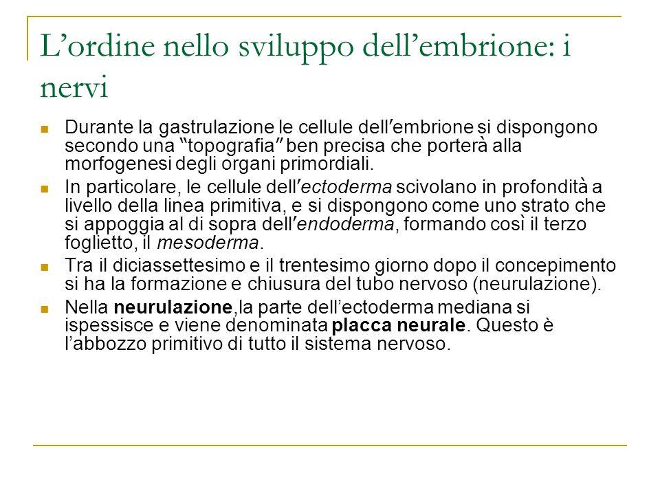 Lordine nello sviluppo dellembrione: i nervi Durante la gastrulazione le cellule dell embrione si dispongono secondo una topografia ben precisa che po