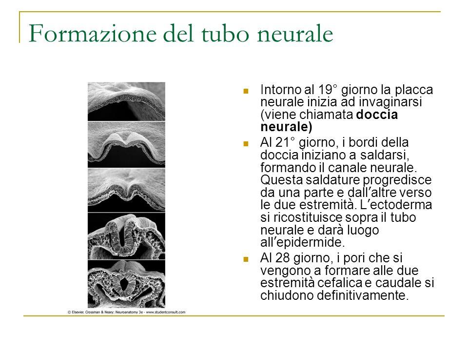 Formazione del tubo neurale Intorno al 19° giorno la placca neurale inizia ad invaginarsi (viene chiamata doccia neurale) Al 21° giorno, i bordi della