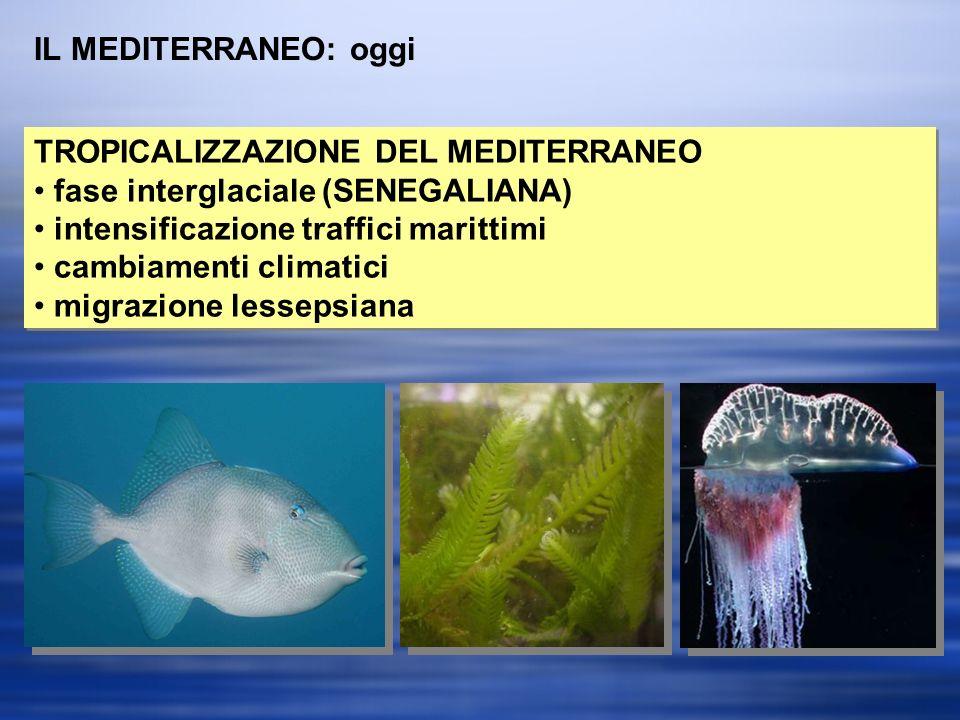 IL MEDITERRANEO: oggi TROPICALIZZAZIONE DEL MEDITERRANEO fase interglaciale (SENEGALIANA) intensificazione traffici marittimi cambiamenti climatici migrazione lessepsiana TROPICALIZZAZIONE DEL MEDITERRANEO fase interglaciale (SENEGALIANA) intensificazione traffici marittimi cambiamenti climatici migrazione lessepsiana