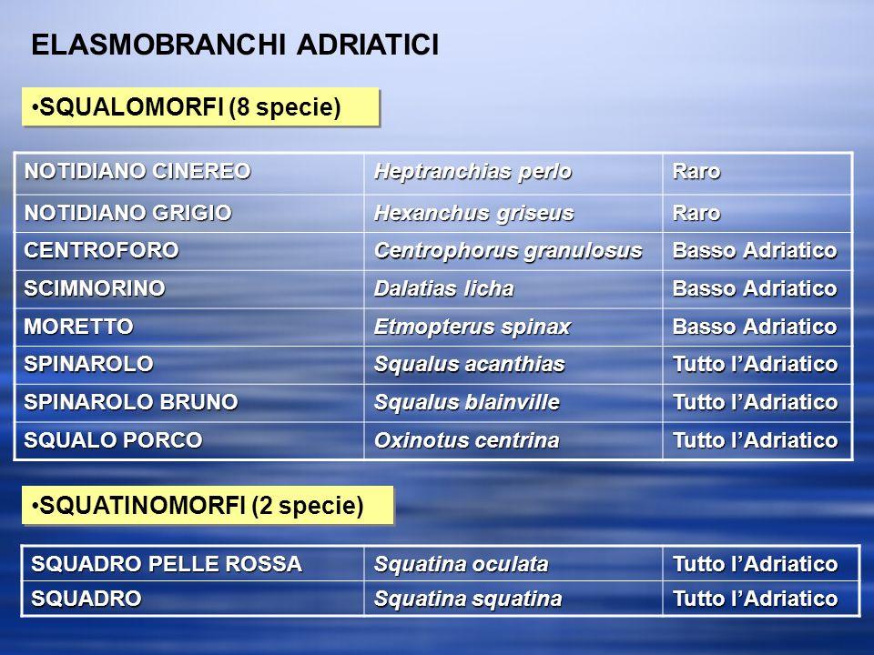 ELASMOBRANCHI ADRIATICI SQUALOMORFI (8 specie) SQUATINOMORFI (2 specie) NOTIDIANO CINEREO Heptranchias perlo Raro NOTIDIANO GRIGIO Hexanchus griseus Raro CENTROFORO Centrophorus granulosus Basso Adriatico SCIMNORINO Dalatias licha Basso Adriatico MORETTO Etmopterus spinax Basso Adriatico SPINAROLO Squalus acanthias Tutto lAdriatico SPINAROLO BRUNO Squalus blainville Tutto lAdriatico SQUALO PORCO Oxinotus centrina Tutto lAdriatico SQUADRO PELLE ROSSA Squatina oculata Tutto lAdriatico SQUADRO Squatina squatina Tutto lAdriatico