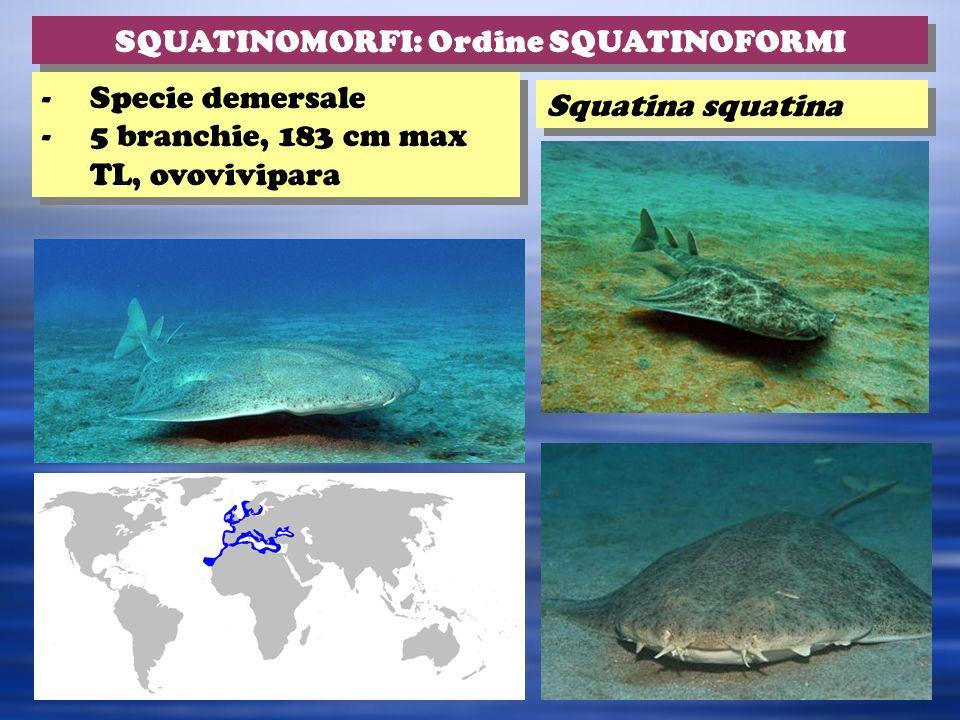 Squatina squatina SQUATINOMORFI: Ordine SQUATINOFORMI -Specie demersale -5 branchie, 183 cm max TL, ovovivipara -Specie demersale -5 branchie, 183 cm max TL, ovovivipara