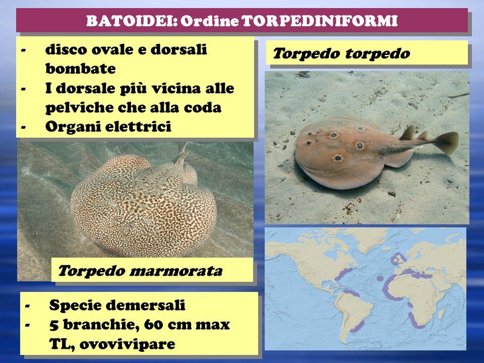 Torpedo torpedo BATOIDEI: Ordine TORPEDINIFORMI -Specie demersali -5 branchie, 60 cm max TL, ovovivipare -Specie demersali -5 branchie, 60 cm max TL, ovovivipare -disco ovale e dorsali bombate -I dorsale più vicina alle pelviche che alla coda -Organi elettrici -disco ovale e dorsali bombate -I dorsale più vicina alle pelviche che alla coda -Organi elettrici Torpedo marmorata