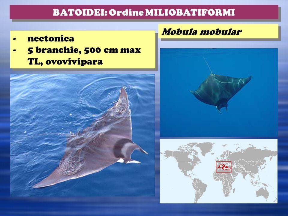 Mobula mobular BATOIDEI: Ordine MILIOBATIFORMI -nectonica -5 branchie, 500 cm max TL, ovovivipara -nectonica -5 branchie, 500 cm max TL, ovovivipara
