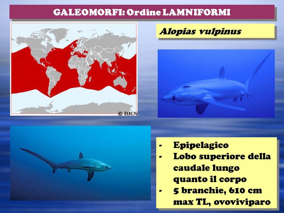 Alopias vulpinus GALEOMORFI: Ordine LAMNIFORMI -Epipelagico -Lobo superiore della caudale lungo quanto il corpo -5 branchie, 610 cm max TL, ovoviviparo -Epipelagico -Lobo superiore della caudale lungo quanto il corpo -5 branchie, 610 cm max TL, ovoviviparo