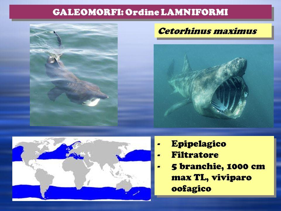 Cetorhinus maximus GALEOMORFI: Ordine LAMNIFORMI -Epipelagico -Filtratore -5 branchie, 1000 cm max TL, viviparo oofagico -Epipelagico -Filtratore -5 branchie, 1000 cm max TL, viviparo oofagico