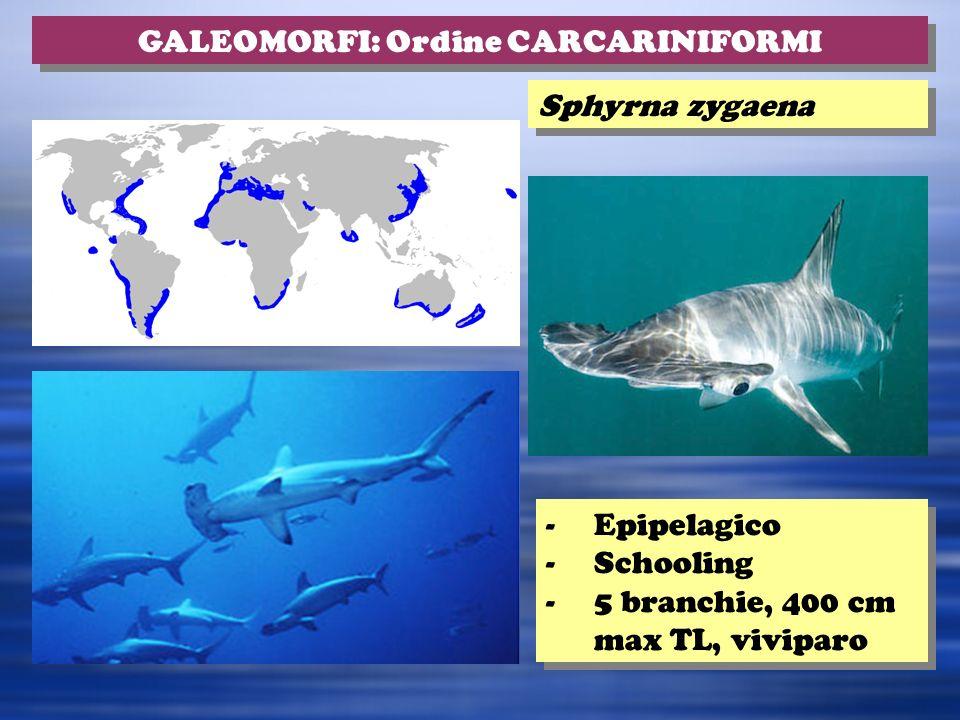 Sphyrna zygaena -Epipelagico -Schooling -5 branchie, 400 cm max TL, viviparo -Epipelagico -Schooling -5 branchie, 400 cm max TL, viviparo GALEOMORFI: Ordine CARCARINIFORMI
