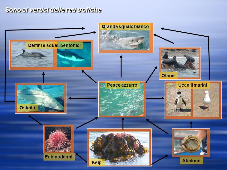 Sono ai vertici delle reti trofiche Delfini e squali bentonici Osteitti Echinodermi Pesce azzurro Kelp Abalone Uccelli marini Otarie Grande squalo bianco