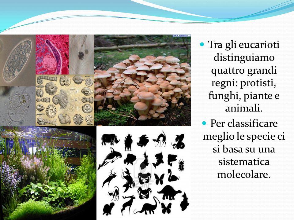 Tra gli eucarioti distinguiamo quattro grandi regni: protisti, funghi, piante e animali. Per classificare meglio le specie ci si basa su una sistemati