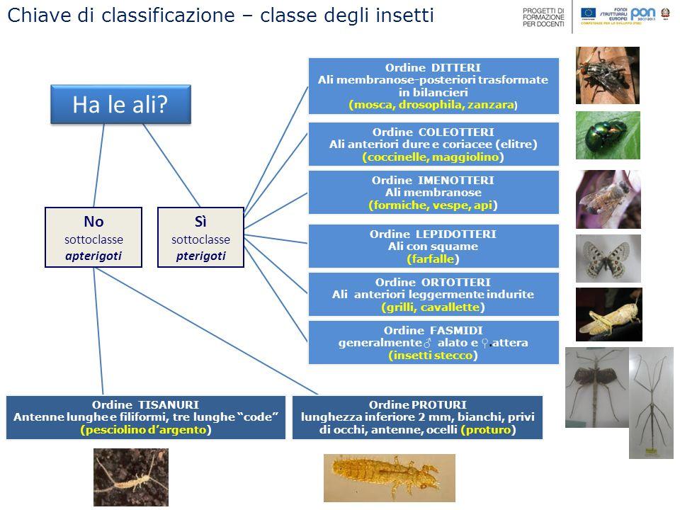 FAMIGLIA Bacillidae ORDINE Fasmidi FAMIGLIA Phylliidae corpo a forma di foglia corpo a forma di ramoscello Lunghezza delle uova 2,8 mm Numero di antennomeri inferiore a 12 GENERE Bacillus PRESENTI IN ITALIA Lunghezza delle uova 2,3 – 2,4 mm Numero di antennomeri superiore a 12 Chiave di classificazione – Ordine dei phasmatodea Medauroidea extradentata FAMIGLIA Diapheromerida Carausius morosus GENERE Clonopsis FAMIGLIA Phasmatidae
