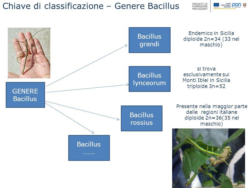 GENERE Bacillus Bacillus lynceorum Bacillus grandi Bacillus rossius Endemico in Sicilia diploide 2n=34 (33 nel maschio) si trova esclusivamente sui Monti Iblei in Sicilia triploide 3n=52 Presente nella maggior parte delle regioni italiane diploide 2n=36(35 nel maschio) Bacillus …….
