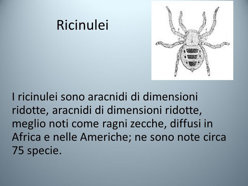 Ricinulei I ricinulei sono aracnidi di dimensioni ridotte, aracnidi di dimensioni ridotte, meglio noti come ragni zecche, diffusi in Africa e nelle Americhe; ne sono note circa 75 specie.