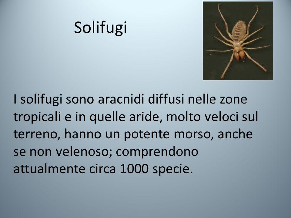 Solifugi I solifugi sono aracnidi diffusi nelle zone tropicali e in quelle aride, molto veloci sul terreno, hanno un potente morso, anche se non velenoso; comprendono attualmente circa 1000 specie.