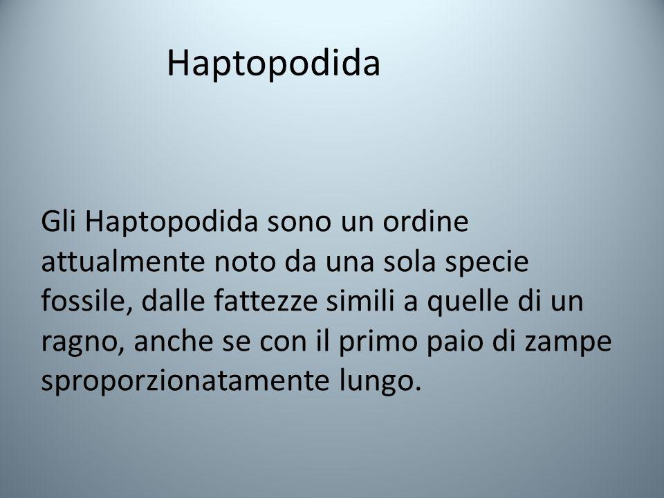 Haptopodida Gli Haptopodida sono un ordine attualmente noto da una sola specie fossile, dalle fattezze simili a quelle di un ragno, anche se con il primo paio di zampe sproporzionatamente lungo.
