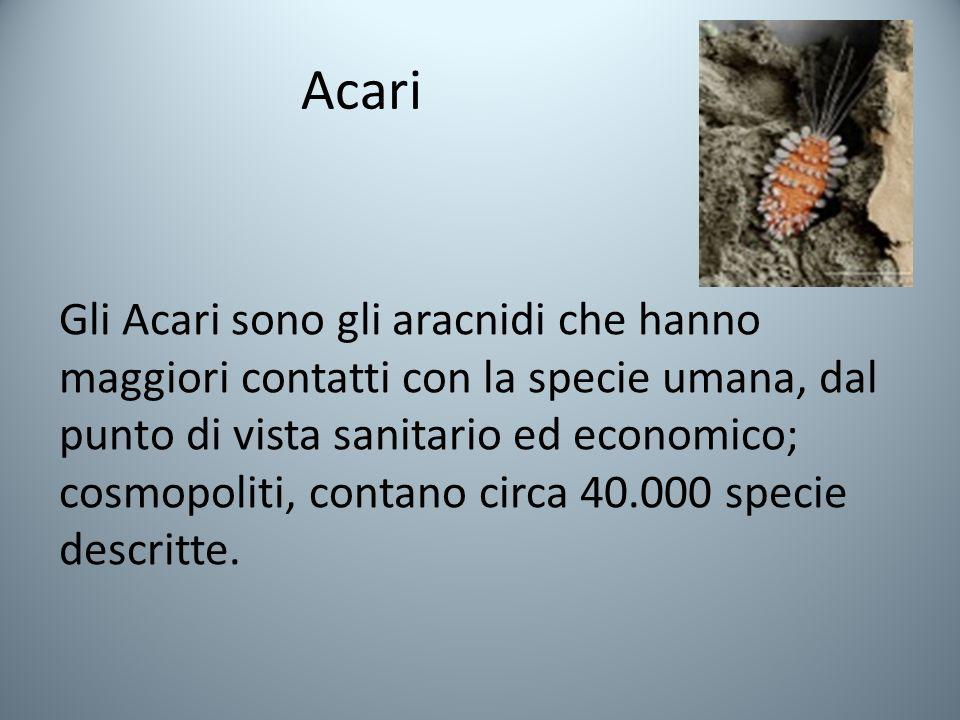 Acari Gli Acari sono gli aracnidi che hanno maggiori contatti con la specie umana, dal punto di vista sanitario ed economico; cosmopoliti, contano circa 40.000 specie descritte.