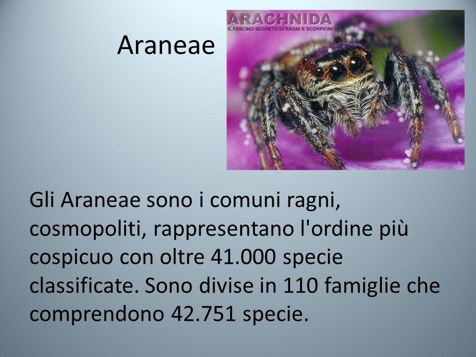 Araneae Gli Araneae sono i comuni ragni, cosmopoliti, rappresentano l ordine più cospicuo con oltre 41.000 specie classificate.
