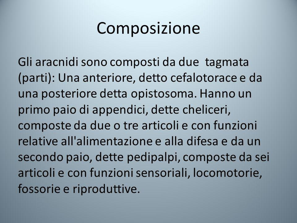 Composizione Gli aracnidi sono composti da due tagmata (parti): Una anteriore, detto cefalotorace e da una posteriore detta opistosoma.