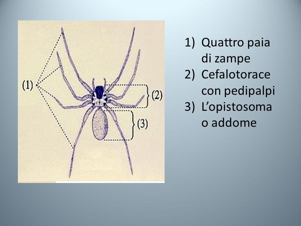 1)Quattro paia di zampe 2)Cefalotorace con pedipalpi 3)Lopistosoma o addome