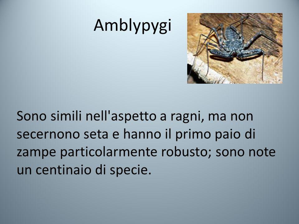 Amblypygi Sono simili nell aspetto a ragni, ma non secernono seta e hanno il primo paio di zampe particolarmente robusto; sono note un centinaio di specie.