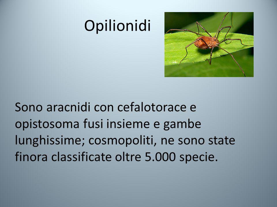 Opilionidi Sono aracnidi con cefalotorace e opistosoma fusi insieme e gambe lunghissime; cosmopoliti, ne sono state finora classificate oltre 5.000 specie.