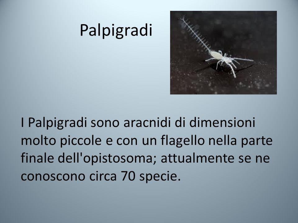 Palpigradi I Palpigradi sono aracnidi di dimensioni molto piccole e con un flagello nella parte finale dell opistosoma; attualmente se ne conoscono circa 70 specie.