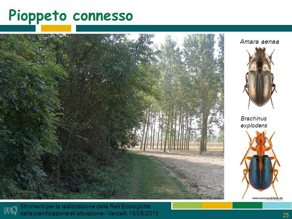 25 Pioppeto connesso Strumenti per la realizzazione delle Reti Ecologiche: dalla pianificazione allattuazione - Vercelli, 15/05/2013 Amara aenea Brachinus explodens