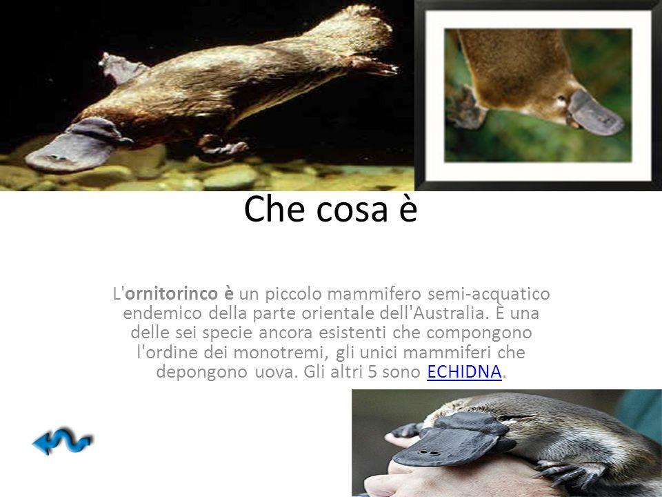 Che cosa è L'ornitorinco è un piccolo mammifero semi-acquatico endemico della parte orientale dell'Australia. È una delle sei specie ancora esistenti