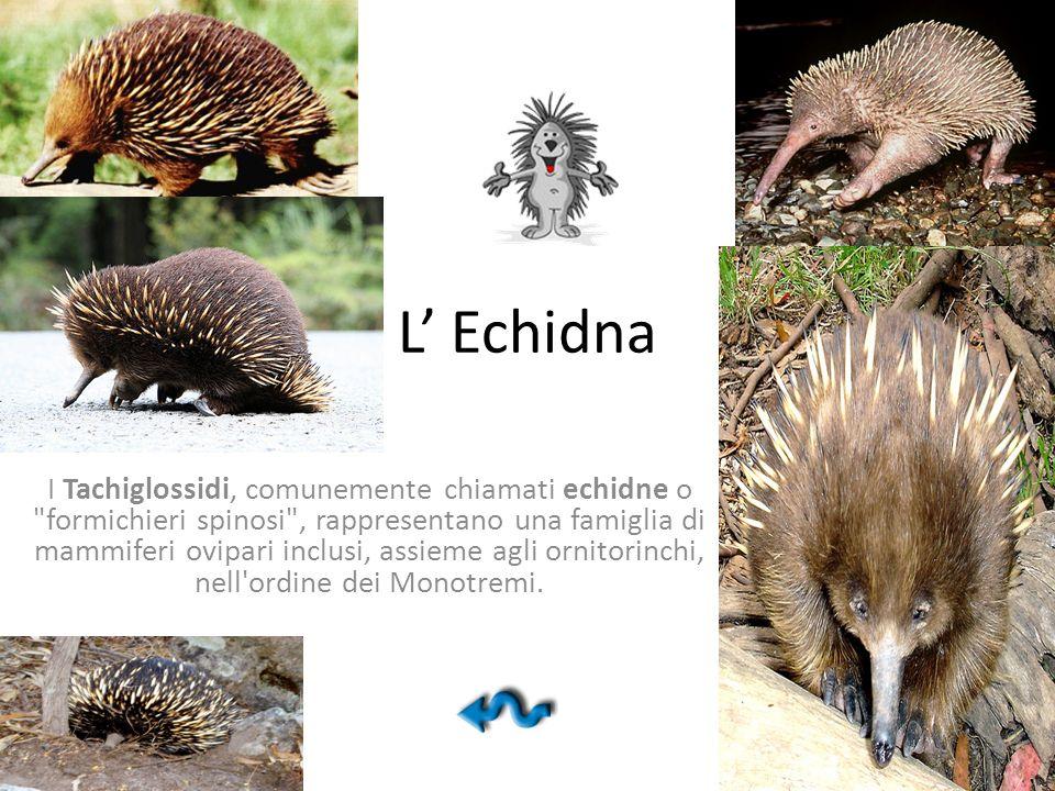 L Echidna I Tachiglossidi, comunemente chiamati echidne o