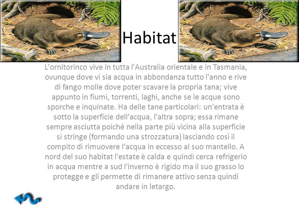 Habitat L'ornitorinco vive in tutta l'Australia orientale e in Tasmania, ovunque dove vi sia acqua in abbondanza tutto l'anno e rive di fango molle do