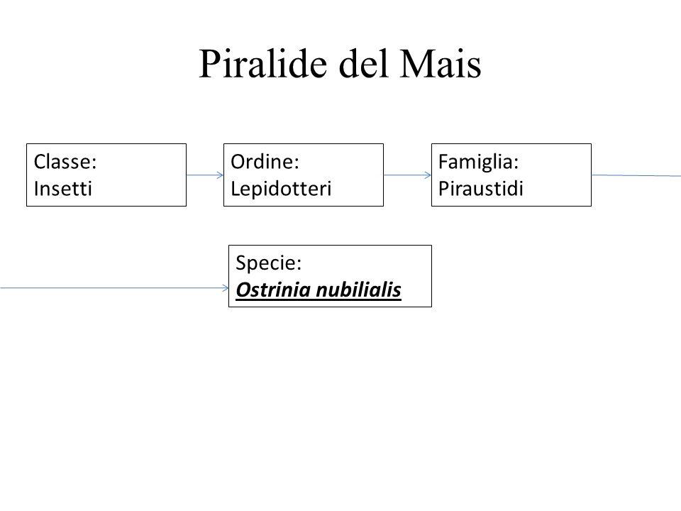 Piralide del Mais Classe: Insetti Ordine: Lepidotteri Famiglia: Piraustidi Specie: Ostrinia nubilialis