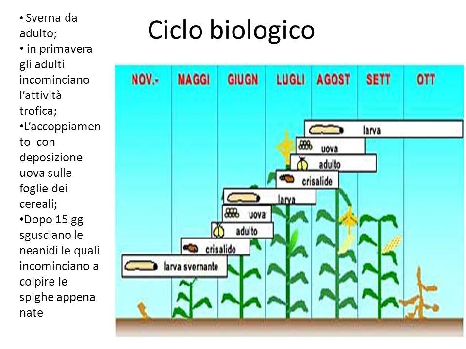 Ciclo biologico Sverna da adulto; in primavera gli adulti incominciano lattività trofica; Laccoppiamen to con deposizione uova sulle foglie dei cereal