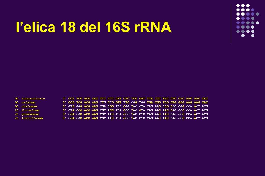 lelica 18 del 16S rRNA M. tuberculosis 5 CCA TCG ACG AAG GTC CGG GTT CTC TCG GAT TGA CGG TAG GTG GAG AAG AAG CAC M. celatum 5 CCA TCG ACG AAG CTG CCG