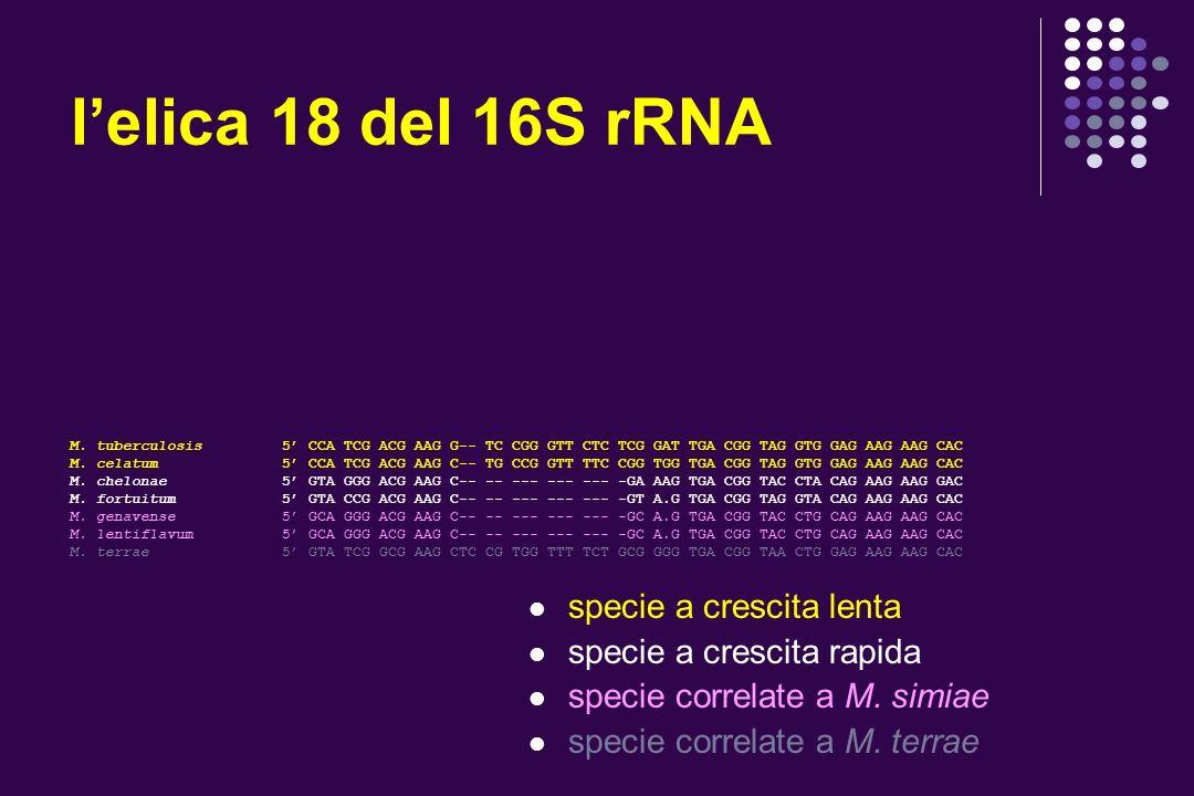 lelica 18 del 16S rRNA M. tuberculosis 5 CCA TCG ACG AAG G-- TC CGG GTT CTC TCG GAT TGA CGG TAG GTG GAG AAG AAG CAC M. celatum 5 CCA TCG ACG AAG C-- T