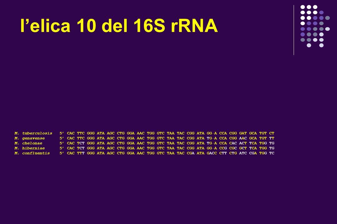 lelica 10 del 16S rRNA M. tuberculosis 5 CAC TTC GGG ATA AGC CTG GGA AAC TGG GTC TAA TAC CGG ATA GGA CCA CGG GAT GCA TGT CT M. genavense 5 CAC TTC GGG