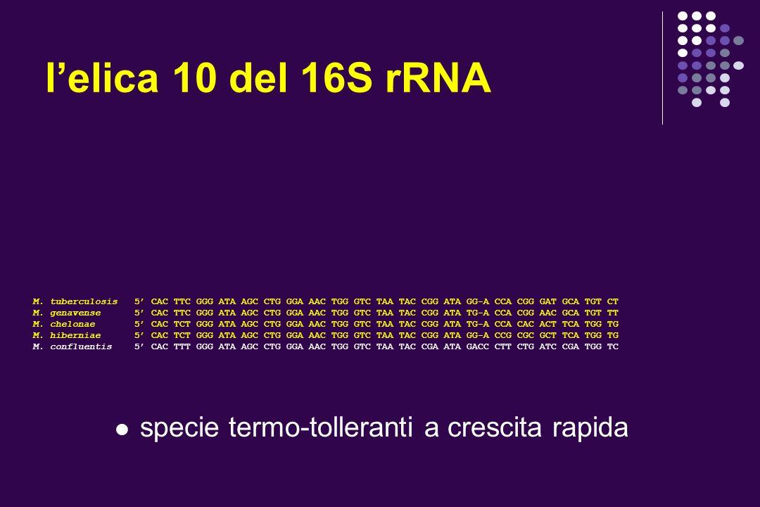 lelica 10 del 16S rRNA M. tuberculosis 5 CAC TTC GGG ATA AGC CTG GGA AAC TGG GTC TAA TAC CGG ATA GG-A CCA CGG GAT GCA TGT CT M. genavense 5 CAC TTC GG
