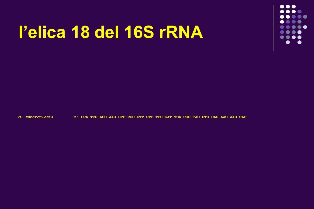 lelica 10 del 16S rRNA M.